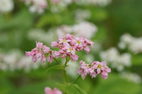 蕎麦の花ピンク