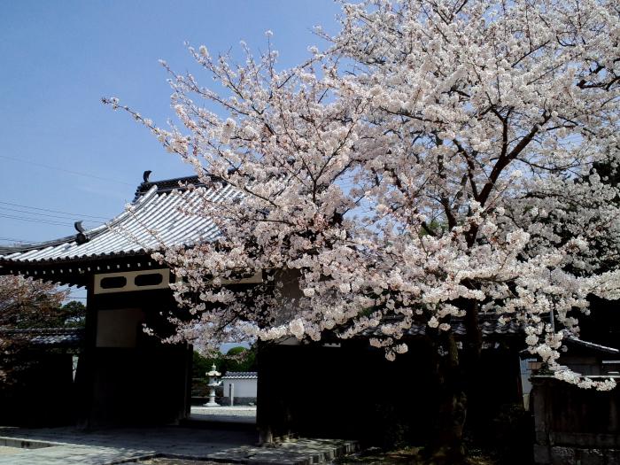 寺の境内・山門と桜(by CA003)