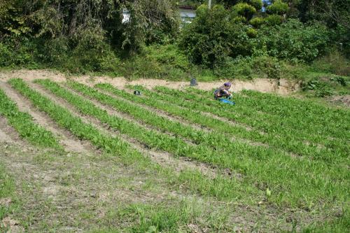 ホウレンソウ畑