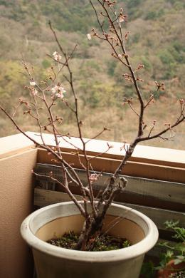 2013.03.10 桜 009