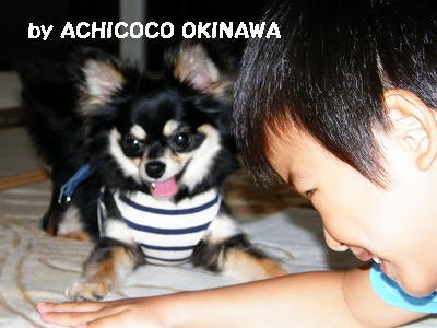 cccshibabacha1.jpg