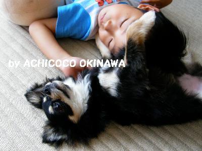 cccshibabacha3.jpg
