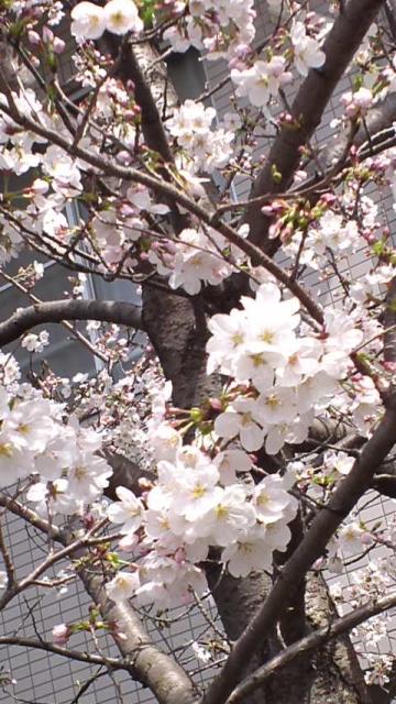2013.3.19桜1
