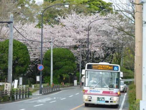 城内美術館東口にて、吉塚5651の福岡都心ライナーと桜。来年もこの風景は見られるか???
