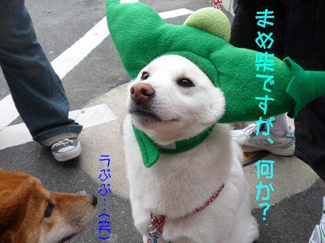 撮影会@わんわん 豆柴のやーつー?