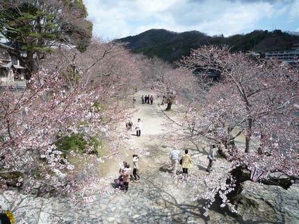 バスつあ~ 桜咲き誇ってないっす