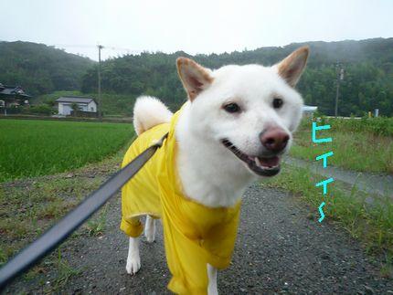 ロールあじ ひぃぃ。。雨がじゃんじゃんと。。。。