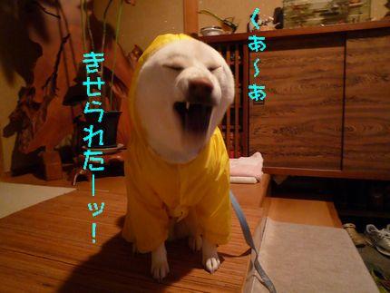 黄色カッパ犬 大あくび~