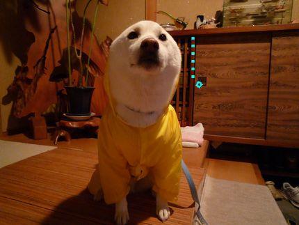 黄色カッパ犬 てんてんてん