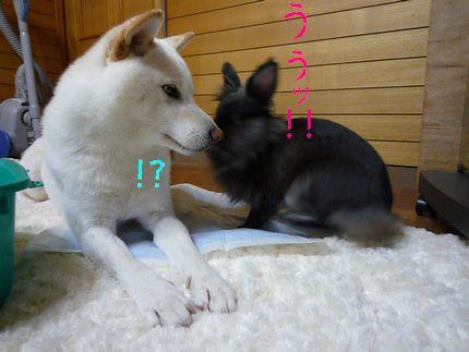 のびるチェック うさぎの「うぅ」!!