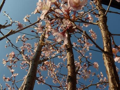 満開の桜 002