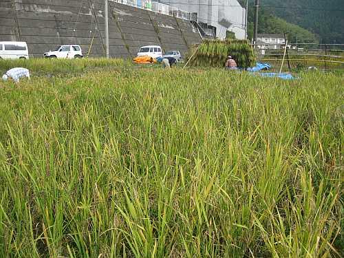 20101020inekari4.jpg