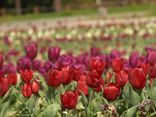 10-4-3-tulip2.jpg