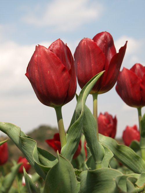 10-4-3-tulip4.jpg