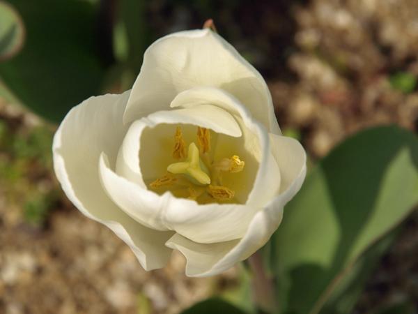 10-4-3-tulip6.jpg