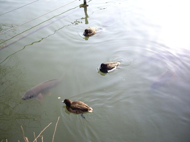 池にはカモや鯉も泳いでました