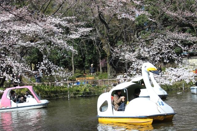 スワンと桜