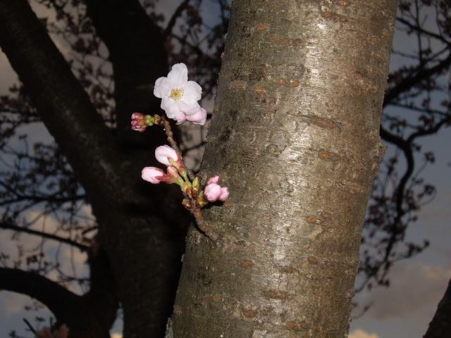 頑張ってる桜ちゃん