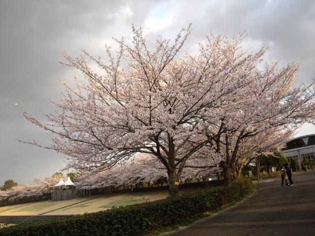 グランドの周りに桜