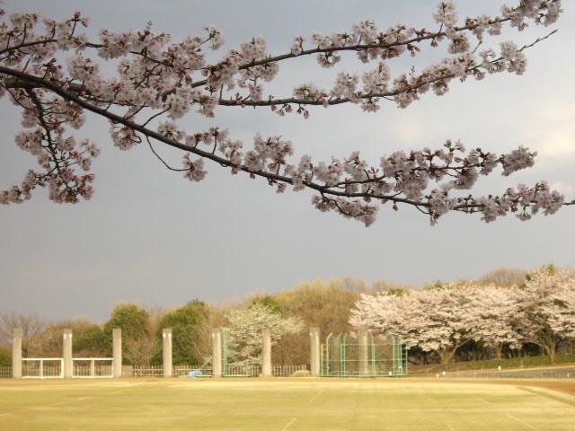 桜斜め撮り②