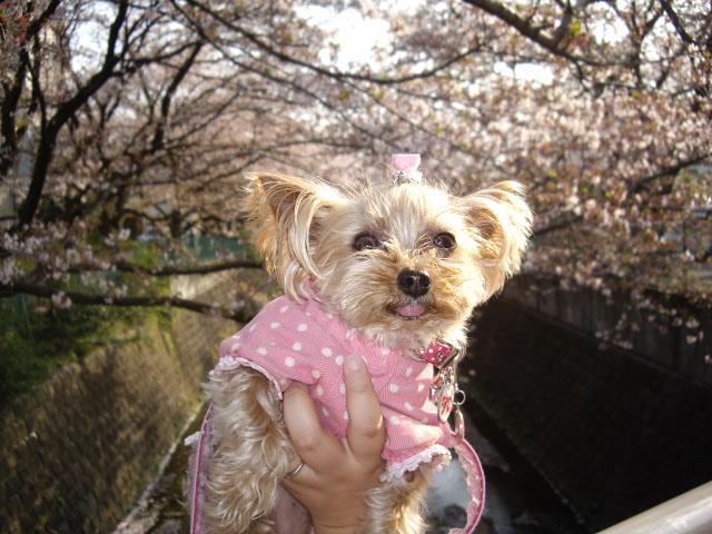 ノンちゃん桜のバックで・・・。