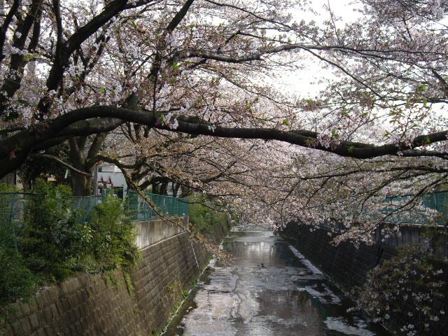 川沿いに桜の木