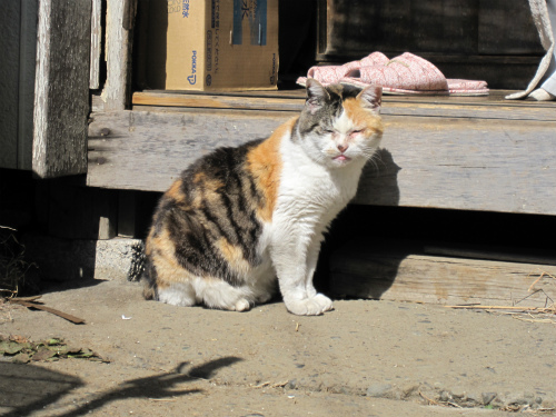 めがわるい猫
