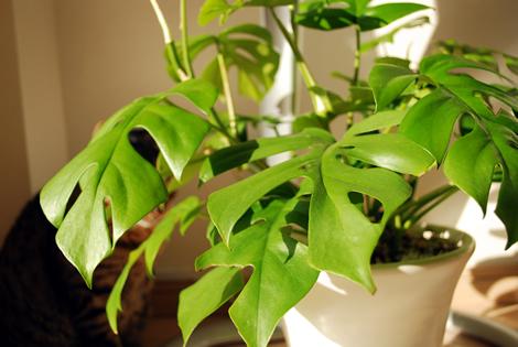 観葉植物 モンステラ 白い鉢植え