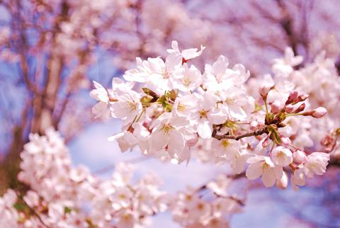 桜の花が満開