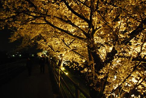 夜桜の花道