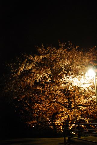 電灯と夜桜の木