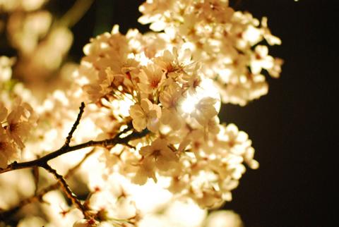 光に透ける桜の花