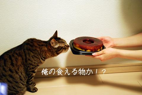 マダムシンコのマダムブリュレを嗅ぐ猫