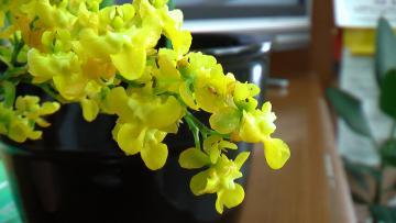シンピジューム黄色