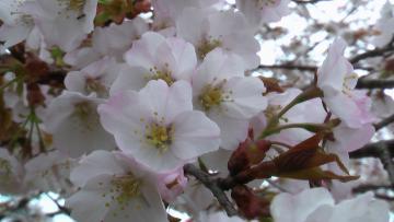 コピー ? 桜くっきり