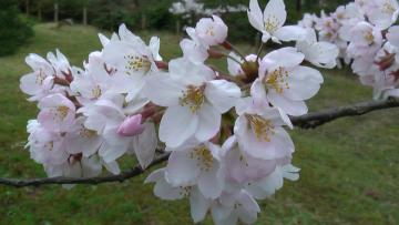 コピー ? 桜