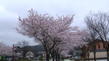 コピー ? 桜美術館前