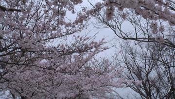 コピー ? 桜美術館前アップ