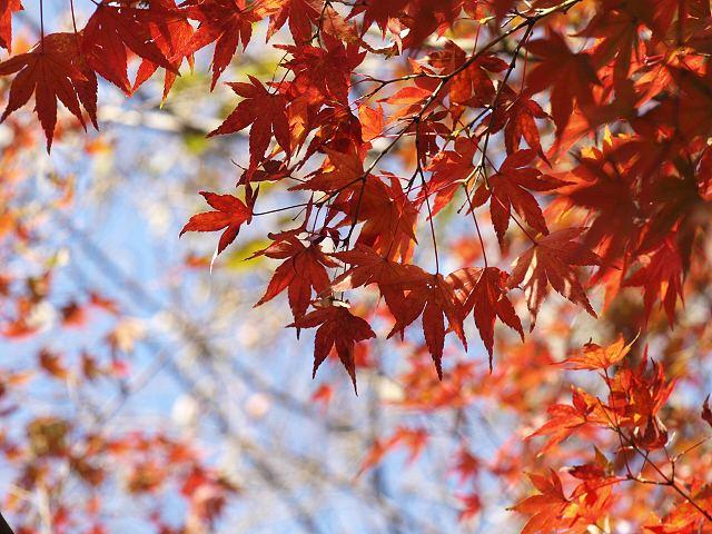 紅葉が綺麗に赤く染まってますね