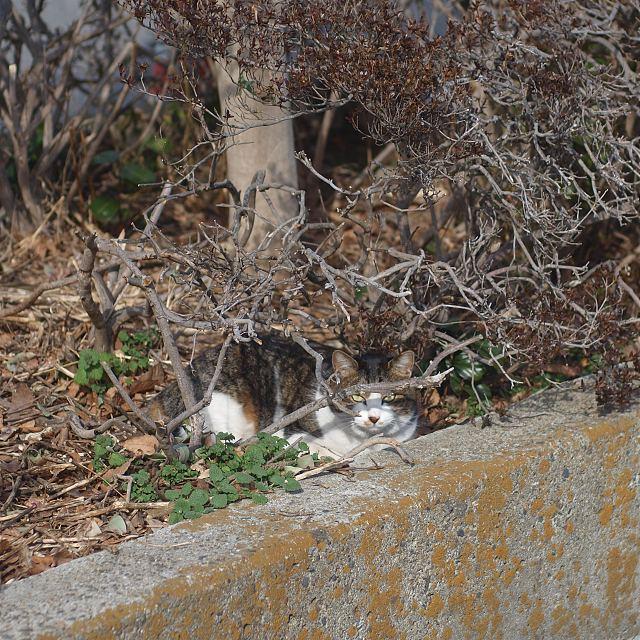 ヤブサバ猫