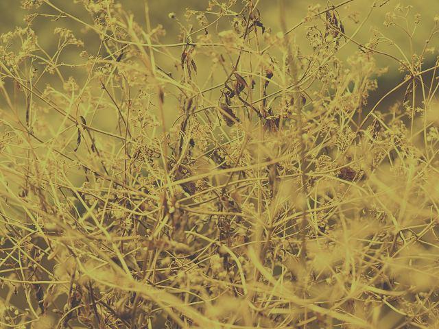 冬枯れ草1