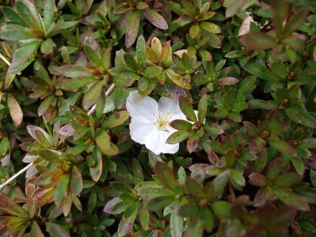 椿に咲く桜