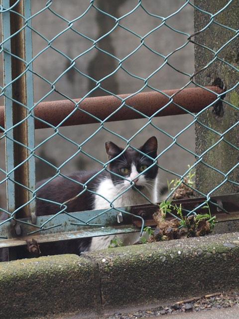 どきどき中白黒猫