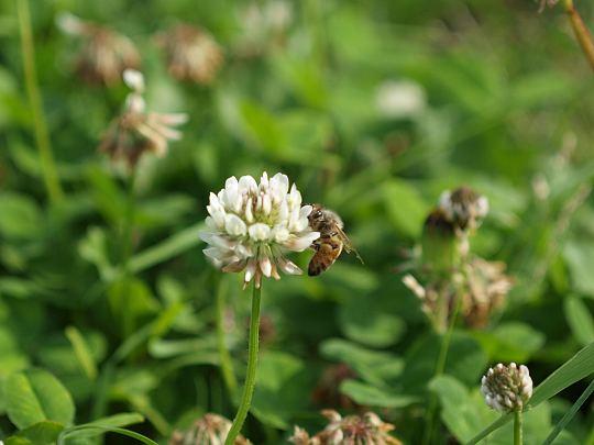 蜜蜂と白詰草