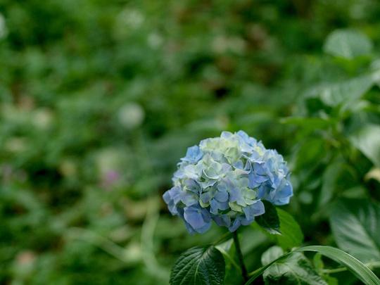 基本な紫陽花