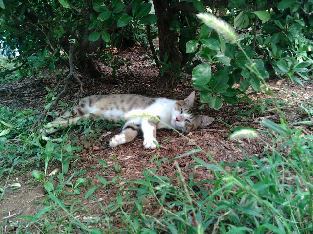 お昼寝鯖猫