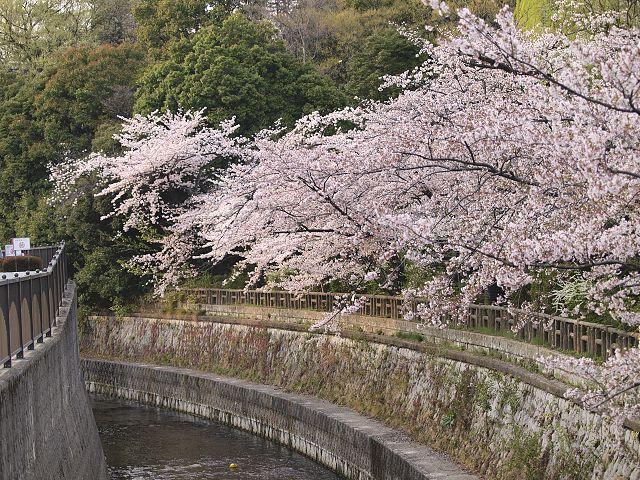 やっぱ桜っす。