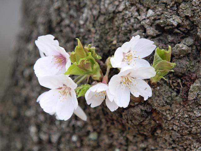 幹に直接咲く桜