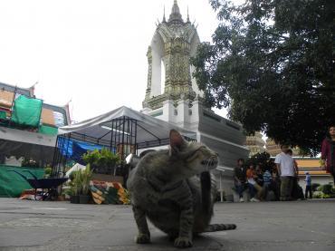 バンコク猫8