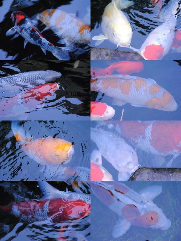 鯉_10_2010